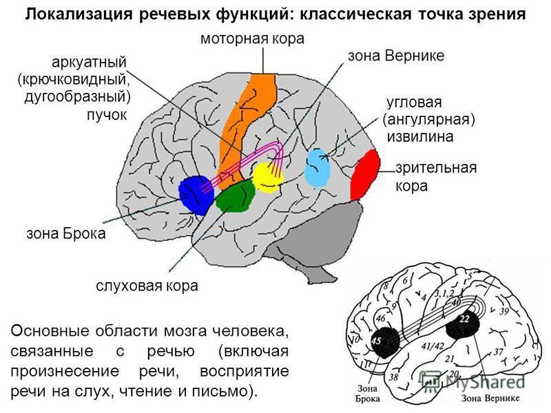 Какая часть мозга отвечает за речь