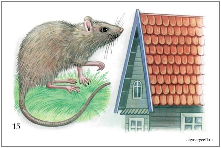 Картинки крыса крыша, лет свадьбы картинка